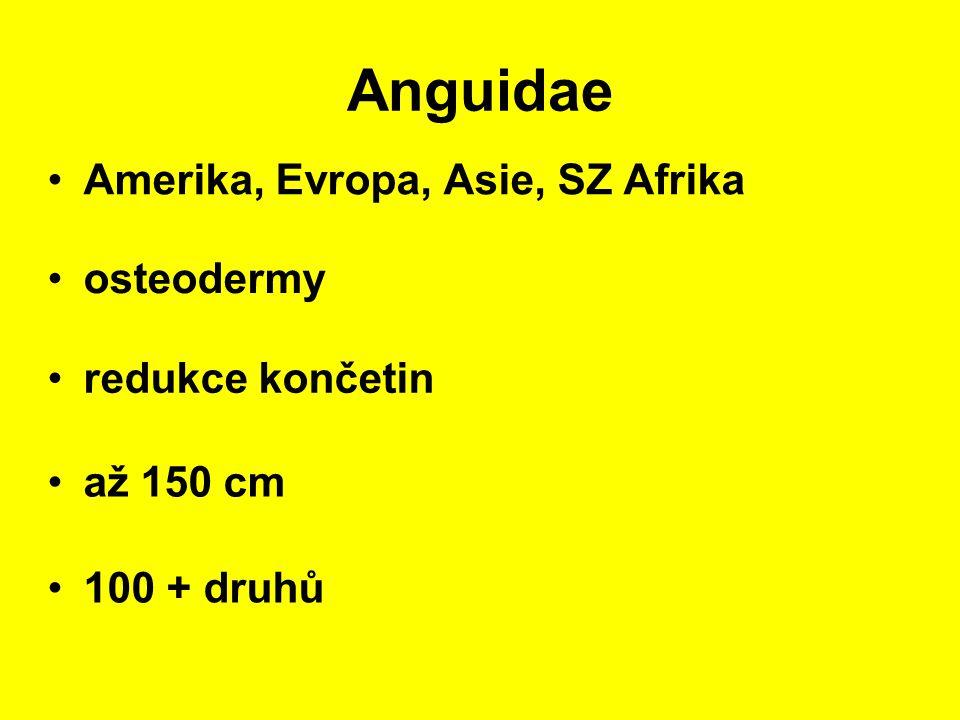 Anguidae Amerika, Evropa, Asie, SZ Afrika až 150 cm osteodermy 100 + druhů redukce končetin