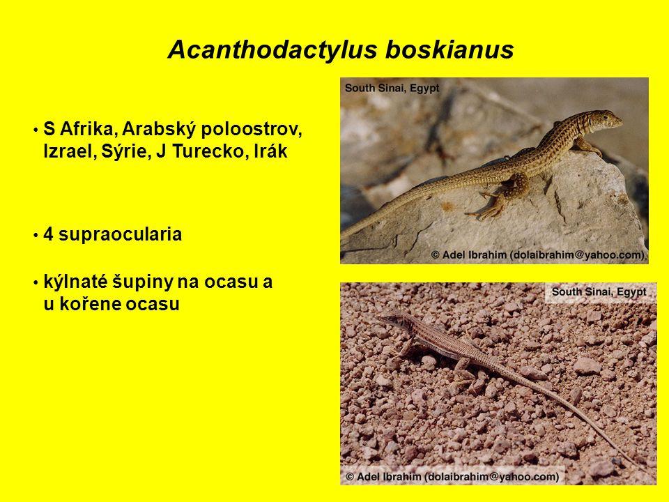 Acanthodactylus boskianus S Afrika, Arabský poloostrov, Izrael, Sýrie, J Turecko, Irák 4 supraocularia kýlnaté šupiny na ocasu a u kořene ocasu