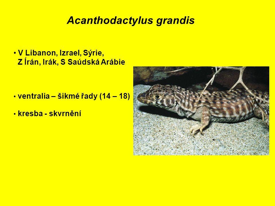 Acanthodactylus grandis V Libanon, Izrael, Sýrie, Z Írán, Irák, S Saúdská Arábie ventralia – šikmé řady (14 – 18) kresba - skvrnění