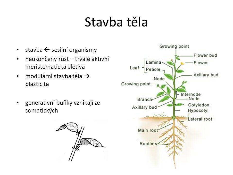 Stavba těla stavba  sesilní organismy neukončený růst – trvale aktivní meristematická pletiva modulární stavba těla  plasticita generativní buňky vz