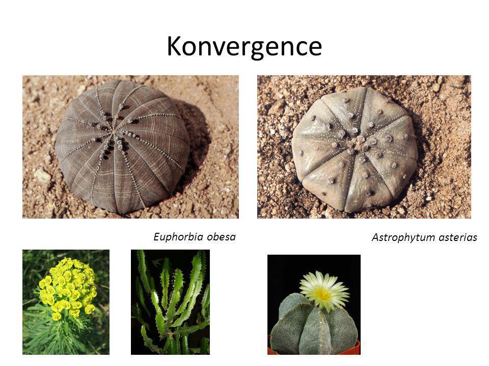 Konvergence Euphorbia obesa Astrophytum asterias