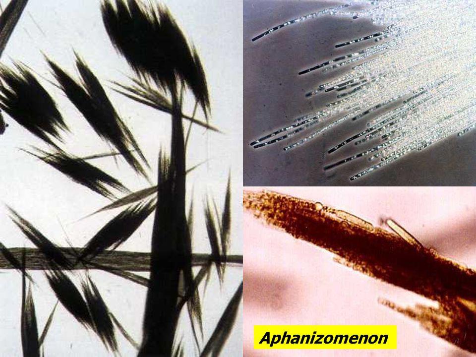 Aphanizomenon