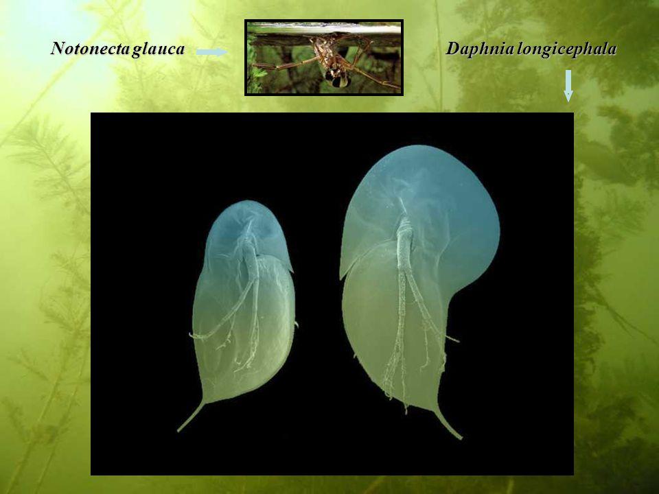 Notonecta glauca Daphnia longicephala