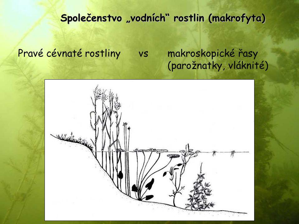 """Společenstvo """"vodních"""" rostlin (makrofyta) Pravé cévnaté rostliny vs makroskopické řasy (parožnatky, vláknité)"""