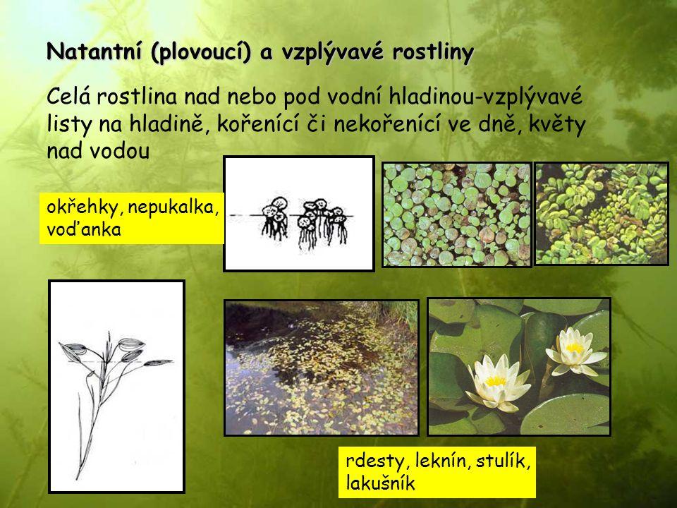 Natantní (plovoucí) a vzplývavé rostliny Celá rostlina nad nebo pod vodní hladinou-vzplývavé listy na hladině, kořenící či nekořenící ve dně, květy na