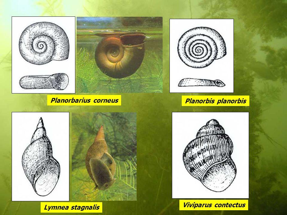 Planorbarius corneus Lymnea stagnalis Planorbis planorbis Viviparus contectus