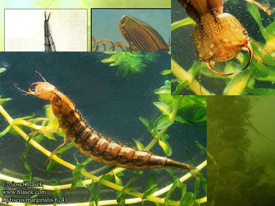 Dytiscus marginalis Acilius Gyrinus
