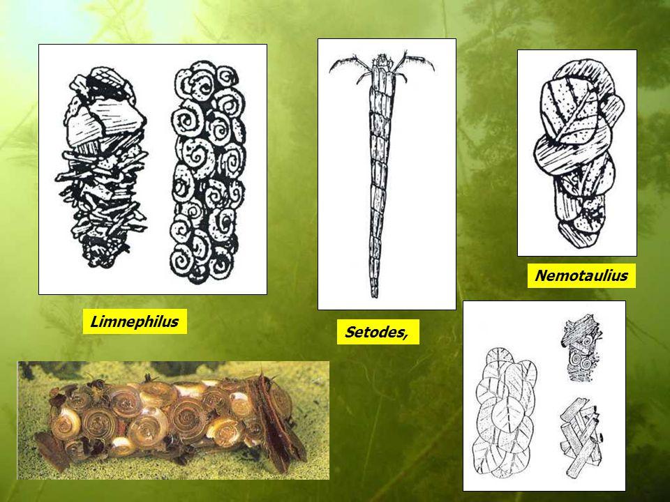 Limnephilus Nemotaulius Setodes,