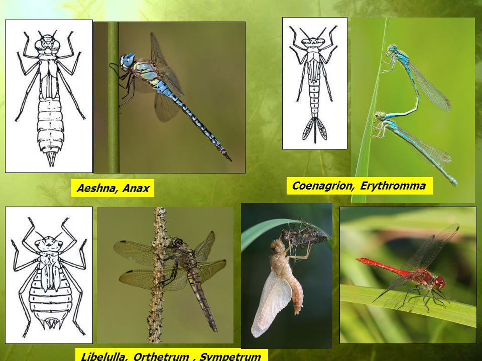 Aeshna, Anax Libelulla, Orthetrum, Sympetrum Coenagrion, Erythromma
