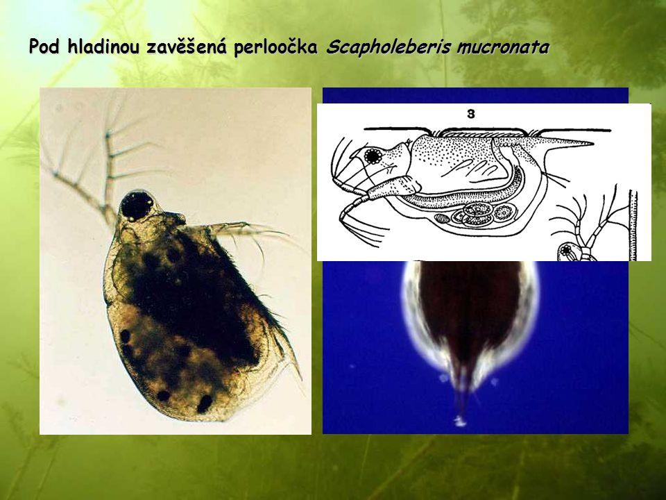 Pod hladinou zavěšená perloočka Scapholeberis mucronata