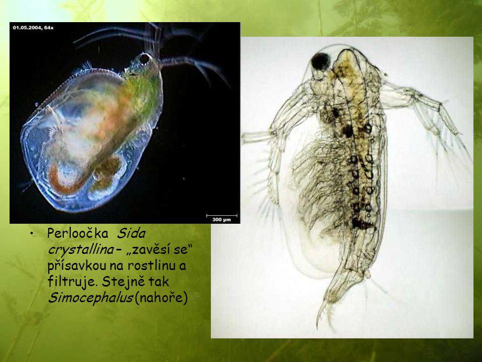 """Perloočka Sida crystallina – """"zavěsí se"""" přísavkou na rostlinu a filtruje. Stejně tak Simocephalus (nahoře)"""