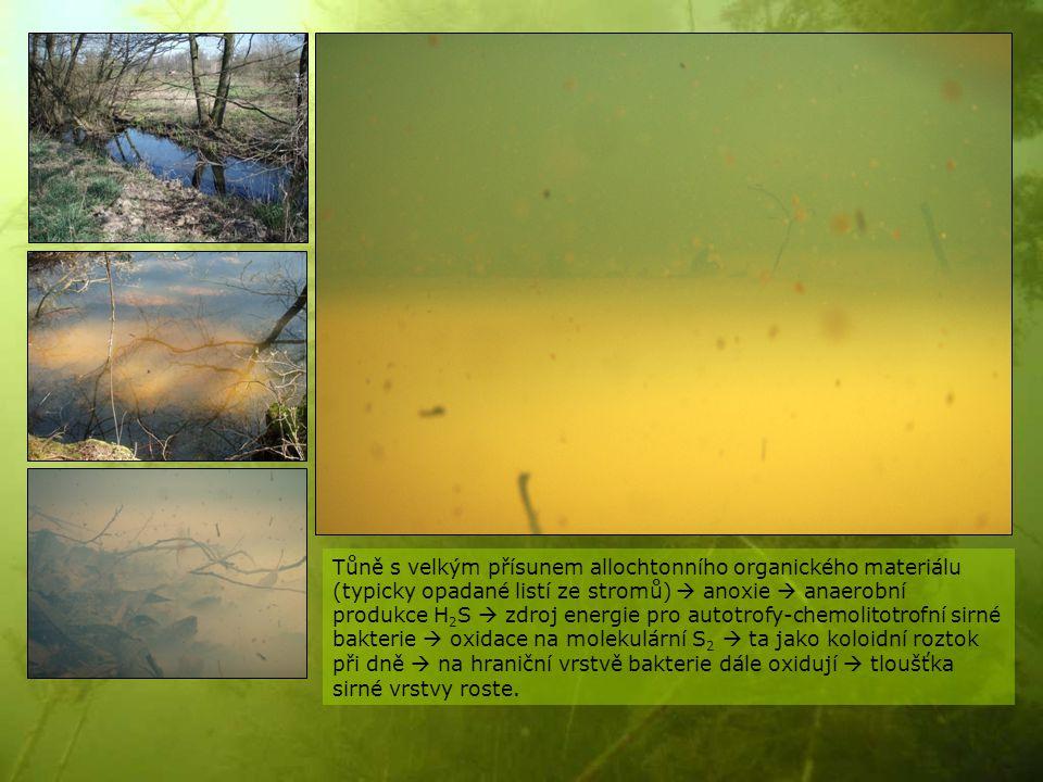 Tůně s velkým přísunem allochtonního organického materiálu (typicky opadané listí ze stromů)  anoxie  anaerobní produkce H 2 S  zdroj energie pro a