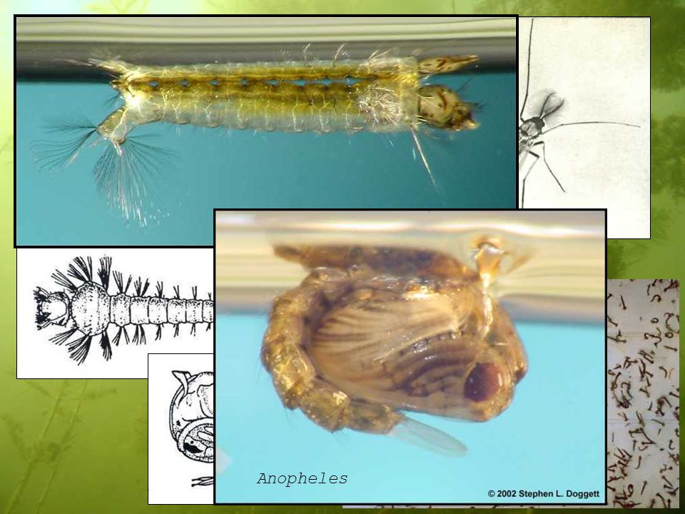 Aedes (Culicidae) Mochlonyx Anopheles