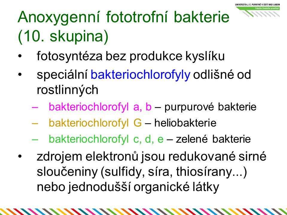 Anoxygenní fototrofní bakterie (10. skupina) fotosyntéza bez produkce kyslíku speciální bakteriochlorofyly odlišné od rostlinných –bakteriochlorofyl a