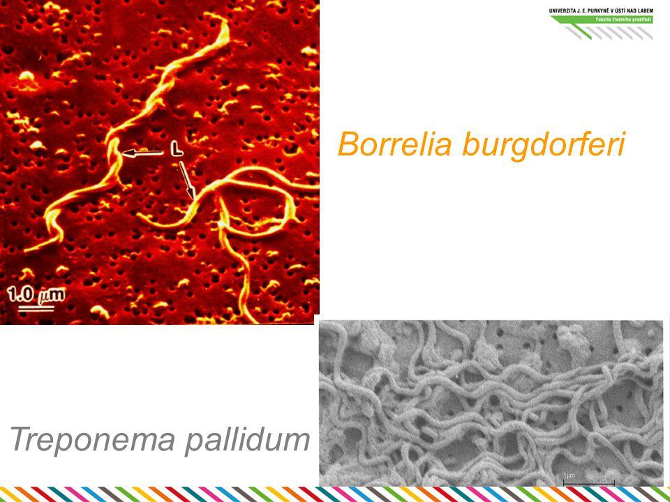 Spirily (2.skupina) spirální či vibroidní buňky aerobní, heterotrofní 1-2 bičíky Bdellovibrio bacteriovorus = predátor jiných bakterií Helicobacter pylori – choroby žaludku (vředy, gastritida, možná rakovina)