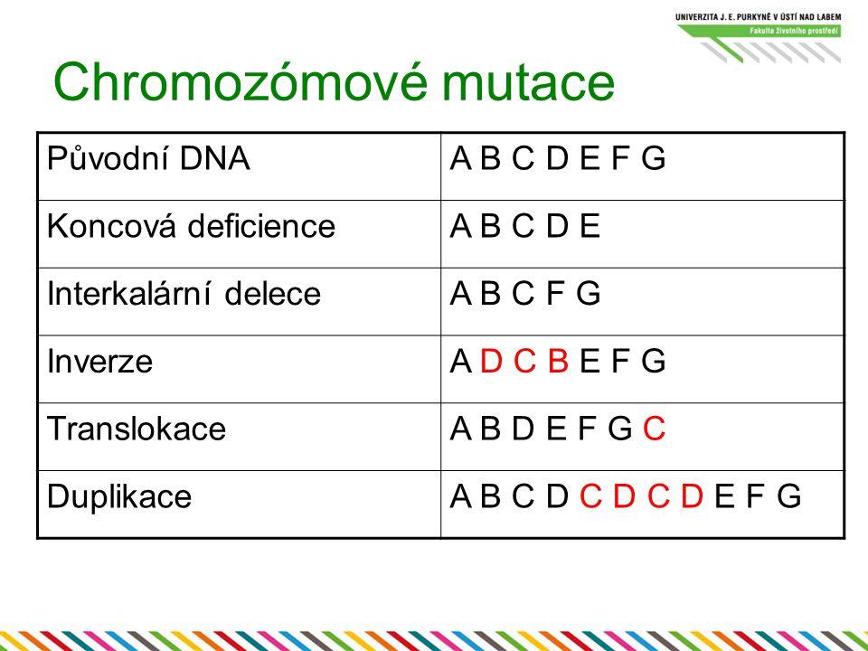 Chromozómové mutace Původní DNAA B C D E F G Koncová deficienceA B C D E Interkalární deleceA B C F G InverzeA D C B E F G TranslokaceA B D E F G C Du