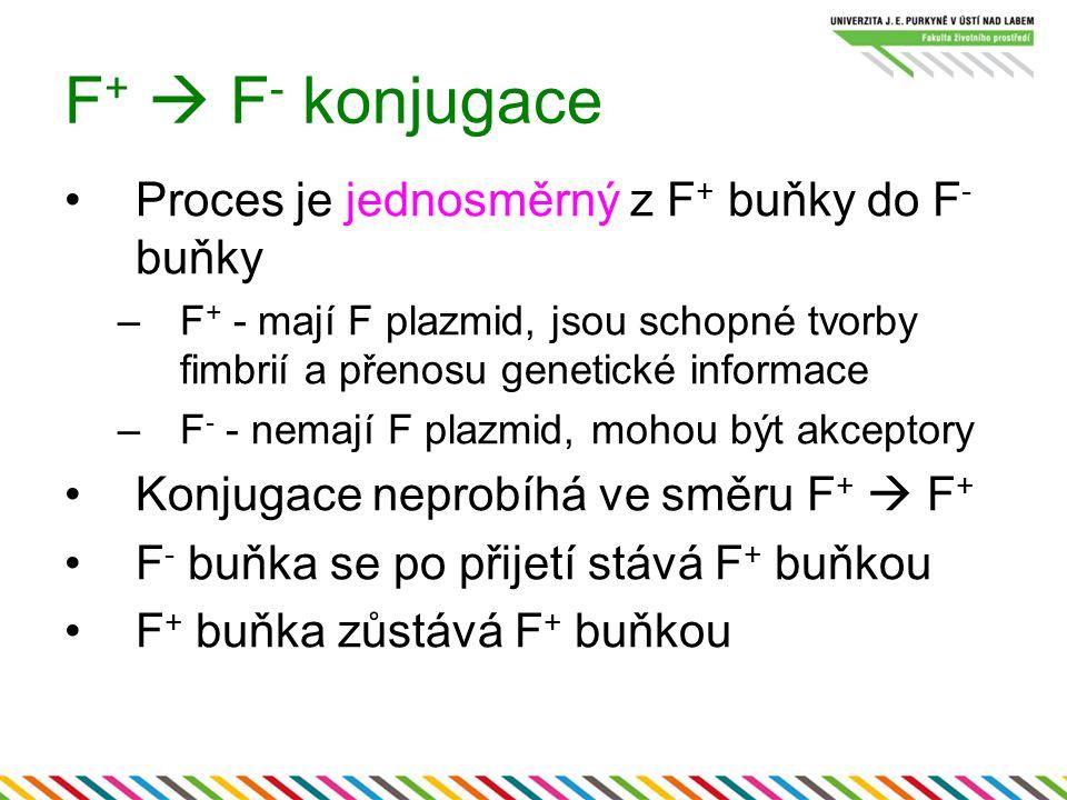 F +  F - konjugace Proces je jednosměrný z F + buňky do F - buňky –F + - mají F plazmid, jsou schopné tvorby fimbrií a přenosu genetické informace –F