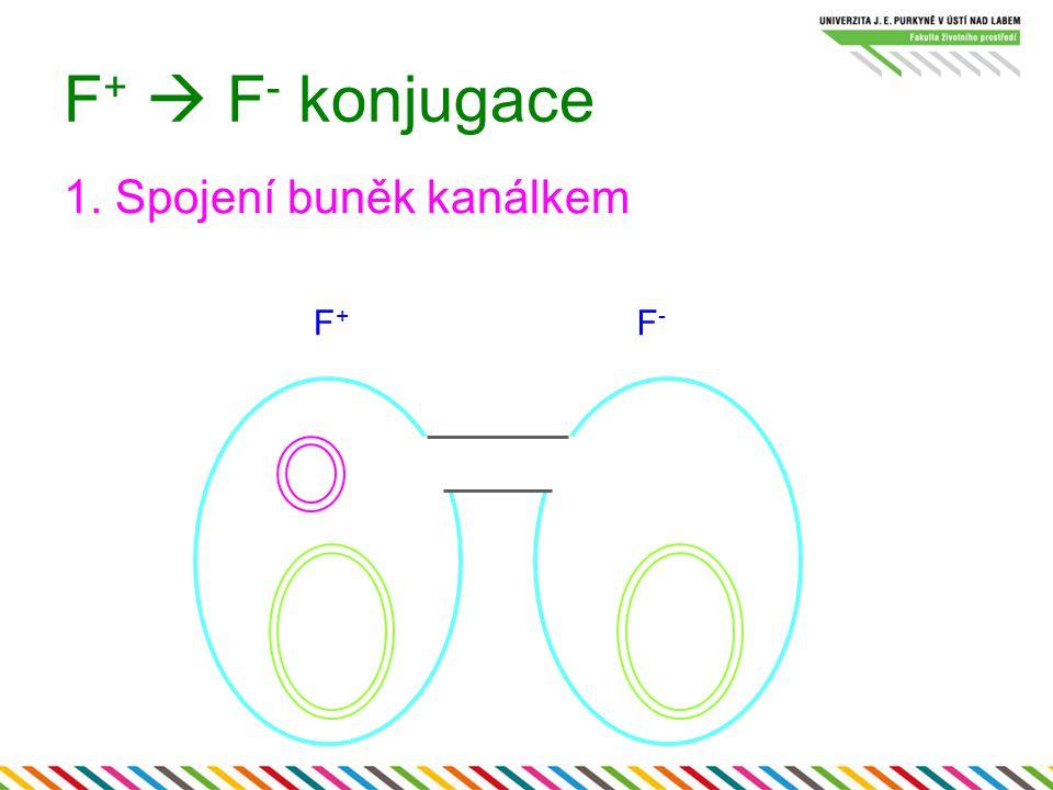F +  F - konjugace 1. Spojení buněk kanálkem F+F+ F-F-
