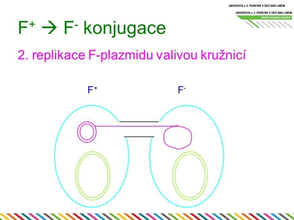 F +  F - konjugace 2. replikace F-plazmidu valivou kružnicí F+F+ F-F-