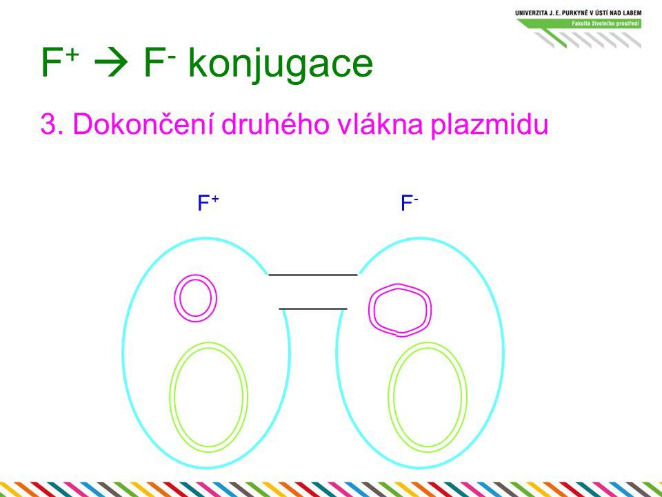 F +  F - konjugace 3. Dokončení druhého vlákna plazmidu F+F+ F-F-