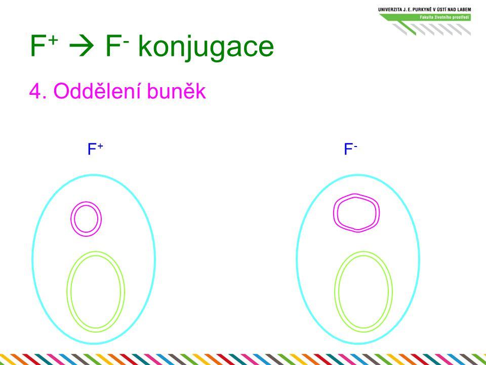 F +  F - konjugace 4. Oddělení buněk F+F+ F-F-