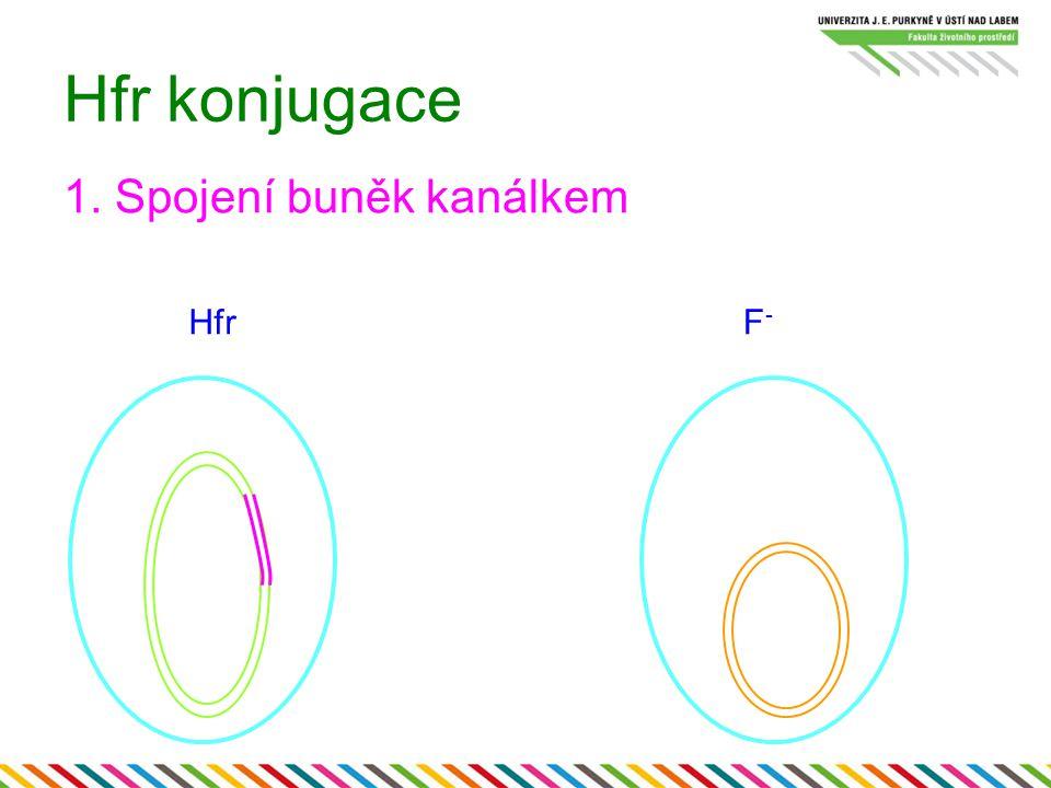 Hfr konjugace 1. Spojení buněk kanálkem HfrF-F-