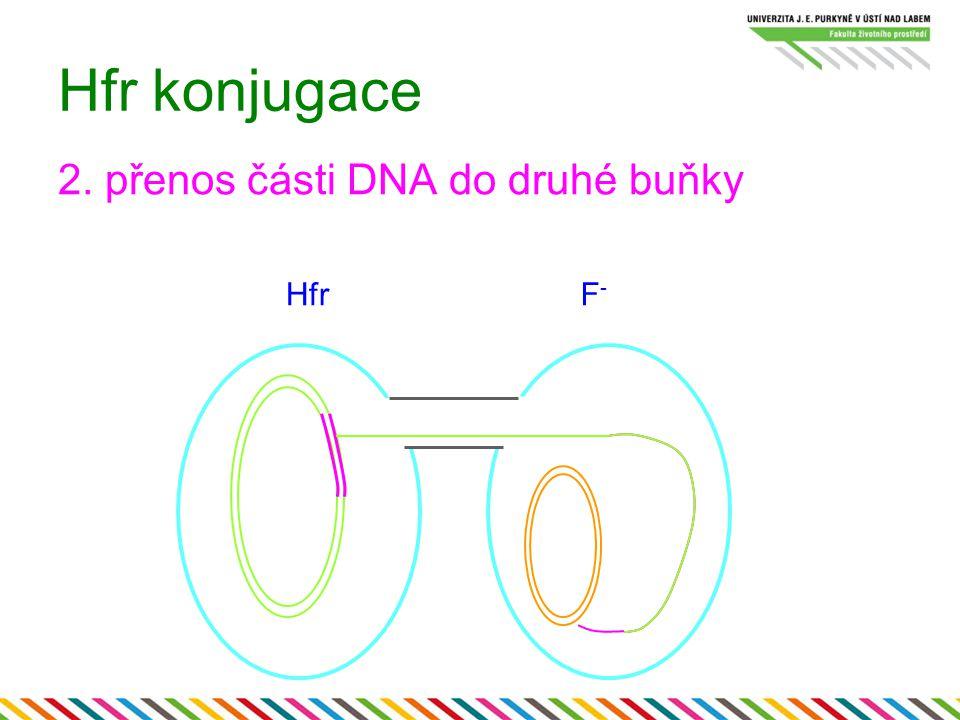 Hfr konjugace 2. přenos části DNA do druhé buňky HfrF-F-