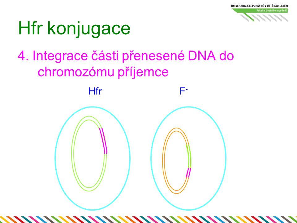 Hfr konjugace 4. Integrace části přenesené DNA do chromozómu příjemce HfrF-F-