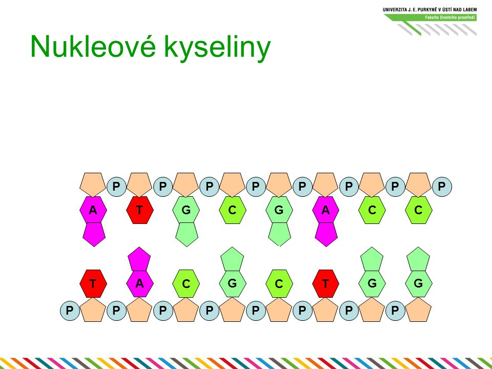 DNA Deoxyribóza Báze Adenin, Guanin, Cytozin, Thymin Stabilnější Obvykle dvouvláknová (double-stranded = ds) RNA Ribóza Báze Adenin, Guanin, Cytozin, Uracil Méně stabilní Obvykle jednovláknová (single-stranded ss)