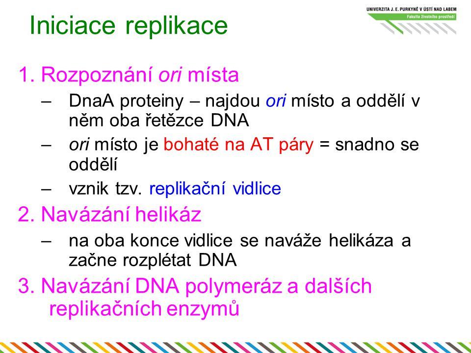 Iniciace replikace 1. Rozpoznání ori místa –DnaA proteiny – najdou ori místo a oddělí v něm oba řetězce DNA –ori místo je bohaté na AT páry = snadno s