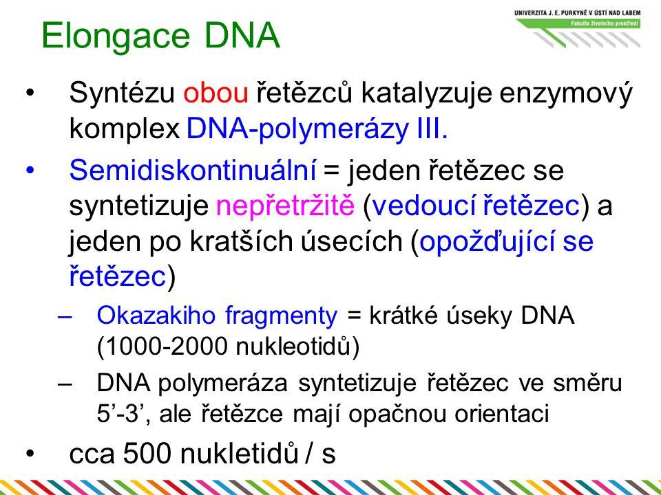 Elongace DNA Syntézu obou řetězců katalyzuje enzymový komplex DNA-polymerázy III. Semidiskontinuální = jeden řetězec se syntetizuje nepřetržitě (vedou