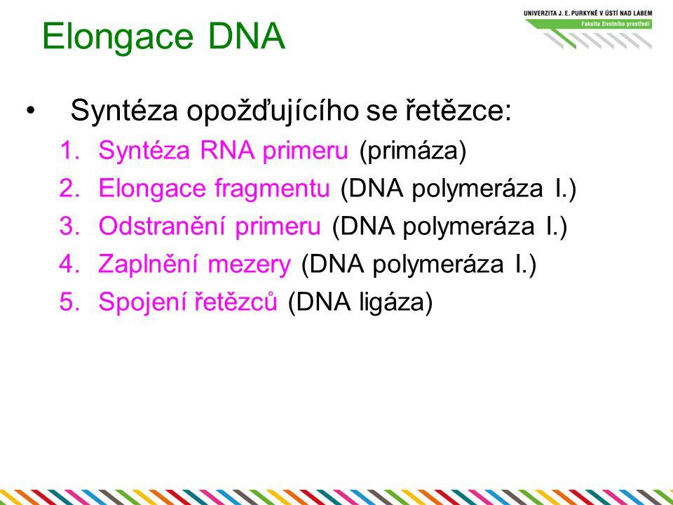 Elongace DNA Syntéza opožďujícího se řetězce: 1.Syntéza RNA primeru (primáza) 2.Elongace fragmentu (DNA polymeráza I.) 3.Odstranění primeru (DNA polym