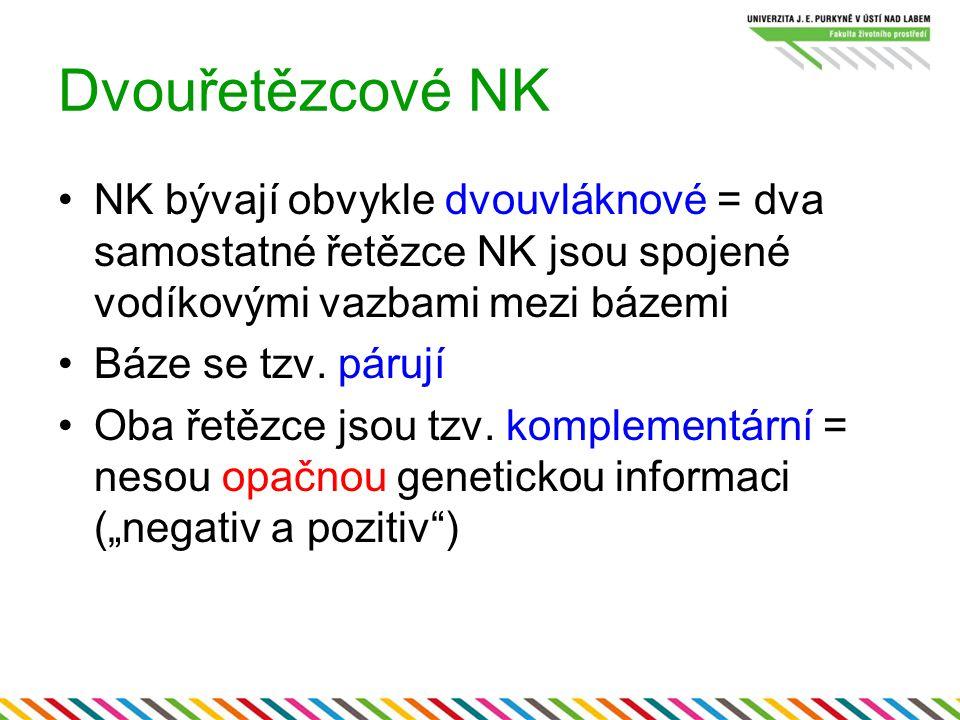 Dvouřetězcové NK NK bývají obvykle dvouvláknové = dva samostatné řetězce NK jsou spojené vodíkovými vazbami mezi bázemi Báze se tzv. párují Oba řetězc
