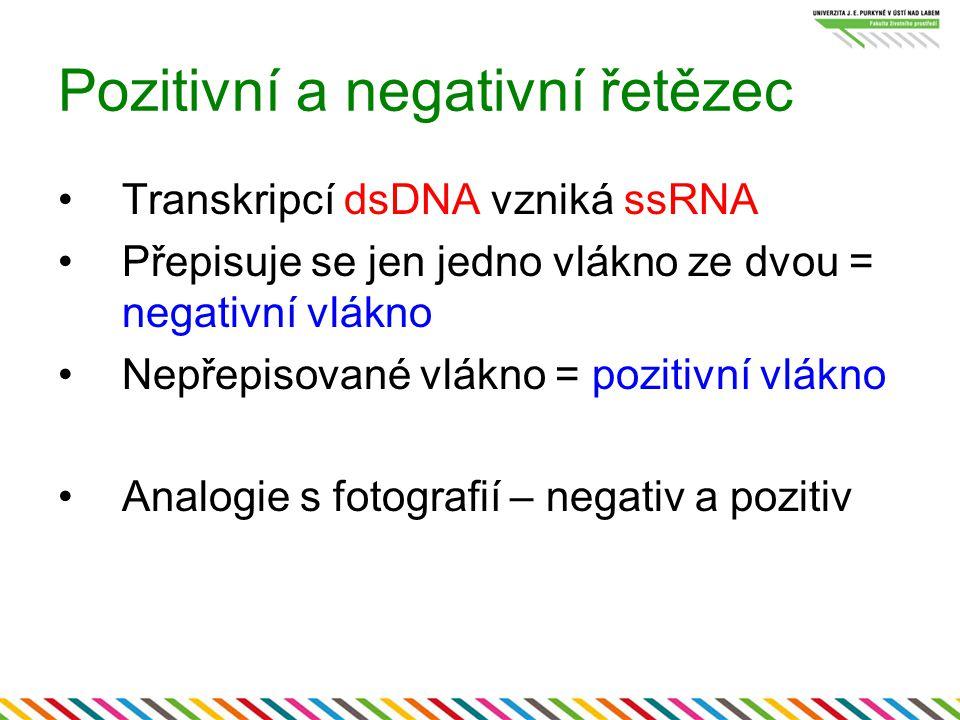 Pozitivní a negativní řetězec Transkripcí dsDNA vzniká ssRNA Přepisuje se jen jedno vlákno ze dvou = negativní vlákno Nepřepisované vlákno = pozitivní