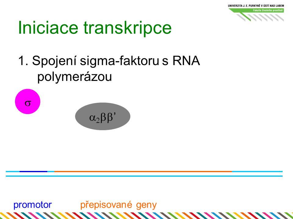 Iniciace transkripce 1. Spojení sigma-faktoru s RNA polymerázou promotorpřepisované geny     '