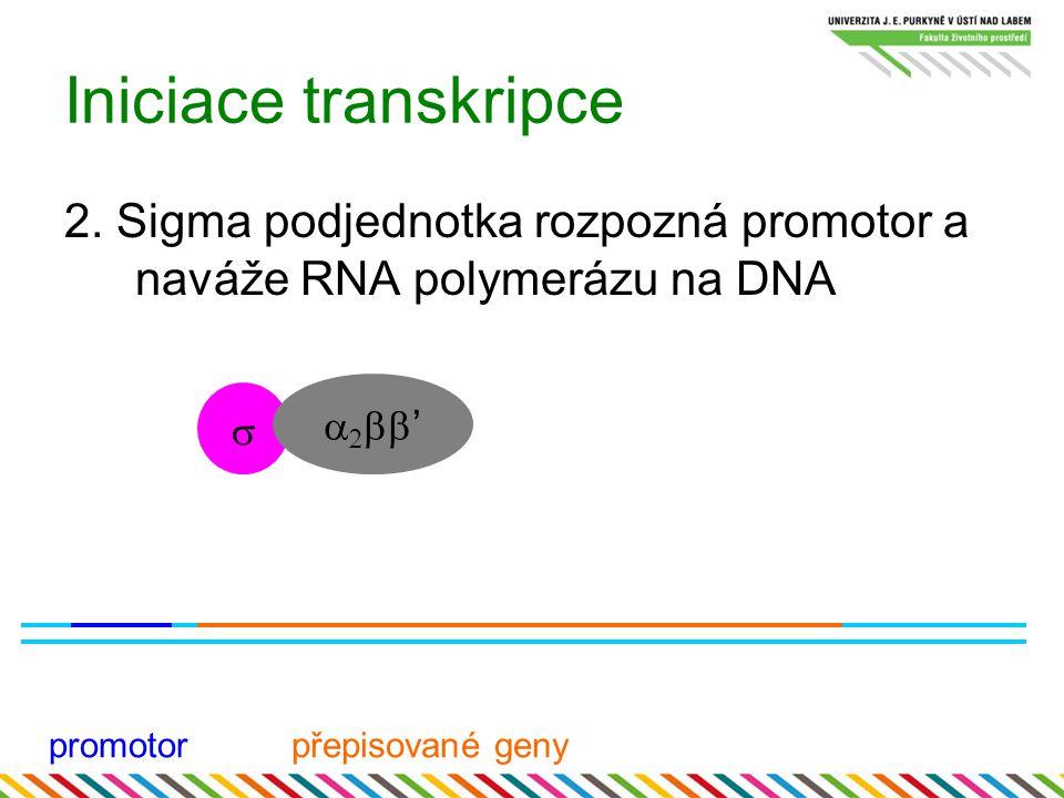 Iniciace transkripce 2. Sigma podjednotka rozpozná promotor a naváže RNA polymerázu na DNA promotorpřepisované geny     '