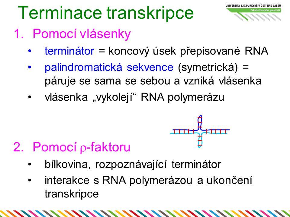 1.Pomocí vlásenky terminátor = koncový úsek přepisované RNA palindromatická sekvence (symetrická) = páruje se sama se sebou a vzniká vlásenka vlásenka
