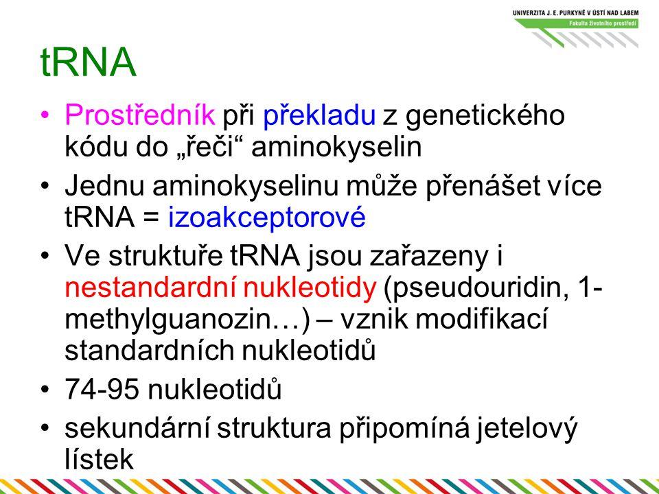"""tRNA Prostředník při překladu z genetického kódu do """"řeči"""" aminokyselin Jednu aminokyselinu může přenášet více tRNA = izoakceptorové Ve struktuře tRNA"""