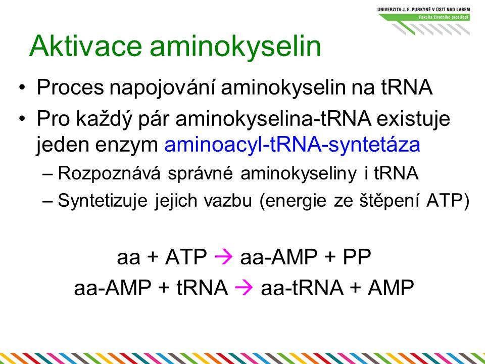 Aktivace aminokyselin Proces napojování aminokyselin na tRNA Pro každý pár aminokyselina-tRNA existuje jeden enzym aminoacyl-tRNA-syntetáza –Rozpoznáv