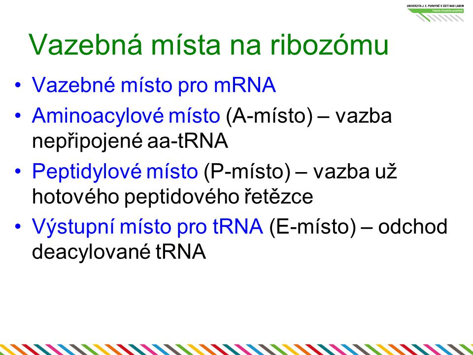 Vazebná místa na ribozómu Vazebné místo pro mRNA Aminoacylové místo (A-místo) – vazba nepřipojené aa-tRNA Peptidylové místo (P-místo) – vazba už hotov