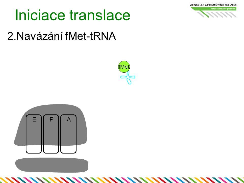 Iniciace translace 2.Navázání fMet-tRNA EPA fMet
