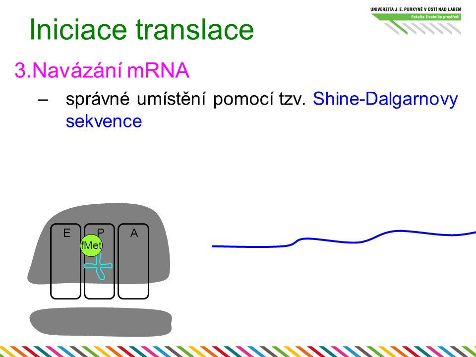 Iniciace translace 3.Navázání mRNA –správné umístění pomocí tzv. Shine-Dalgarnovy sekvence EPA fMet