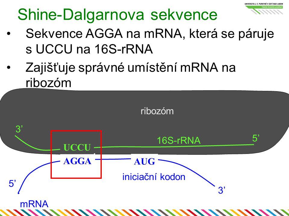 Shine-Dalgarnova sekvence Sekvence AGGA na mRNA, která se páruje s UCCU na 16S-rRNA Zajišťuje správné umístění mRNA na ribozóm AGGA 3' 5'5' mRNA 16S-r