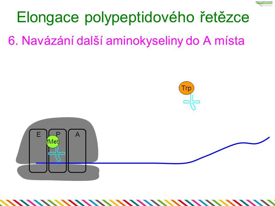 Elongace polypeptidového řetězce 6. Navázání další aminokyseliny do A místa EPA fMet Trp