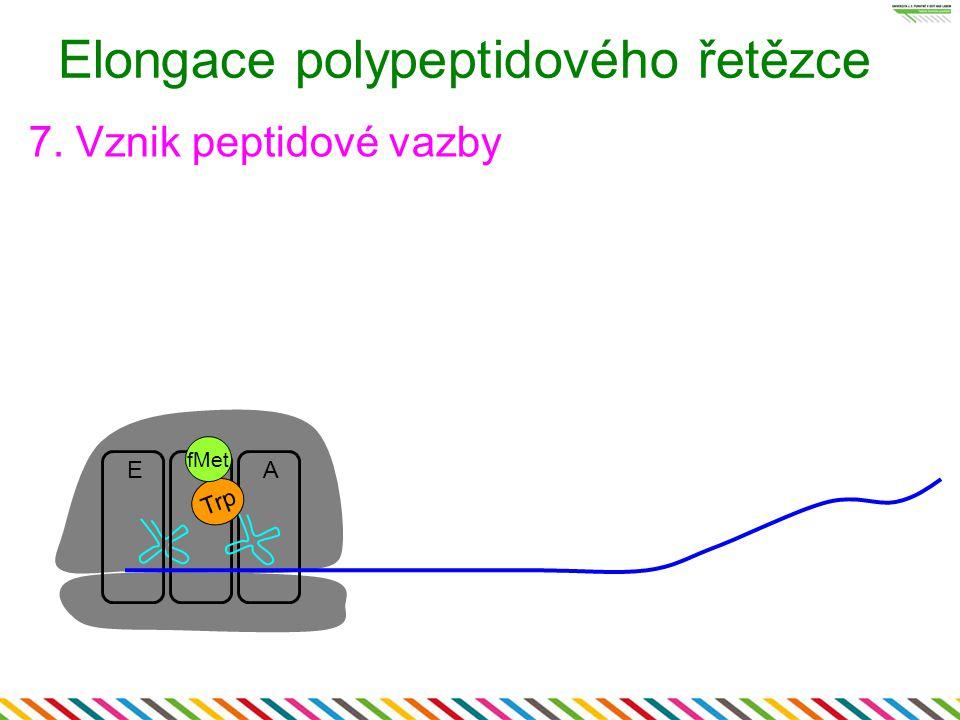 Elongace polypeptidového řetězce 7. Vznik peptidové vazby EPA Trp fMet