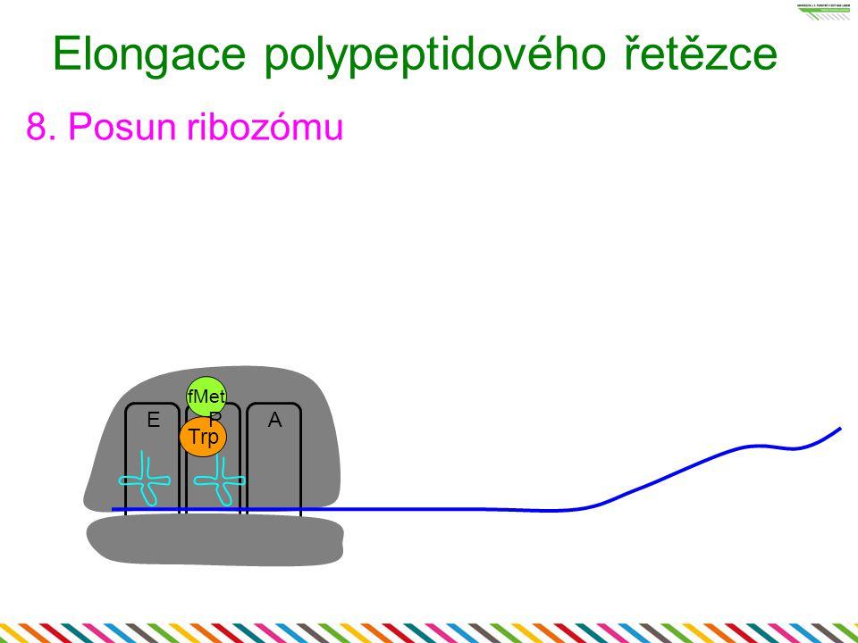 EA Elongace polypeptidového řetězce 8. Posun ribozómu Trp P