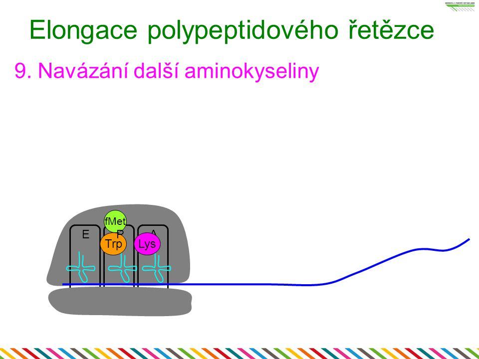 EA fMet Elongace polypeptidového řetězce 9. Navázání další aminokyseliny Trp P Lys