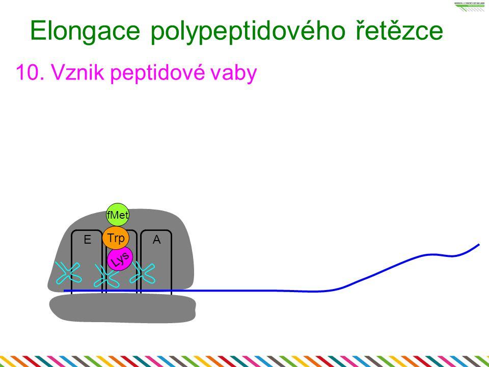 EA Elongace polypeptidového řetězce 10. Vznik peptidové vaby P Lys fMet Trp