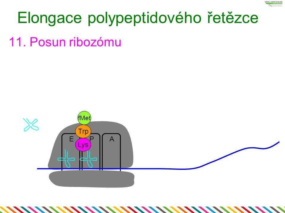EAP Elongace polypeptidového řetězce 11. Posun ribozómu Lys fMet Trp