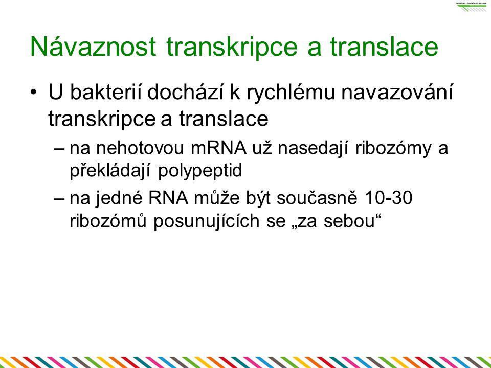 Návaznost transkripce a translace U bakterií dochází k rychlému navazování transkripce a translace –na nehotovou mRNA už nasedají ribozómy a překládaj